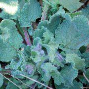 Borragine (Borago officinalis)