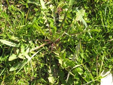 Cicoria (Cichorium intybus))_368x276