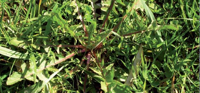 Cicorium intybus