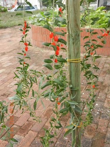 Accademia delle erbe spontanee goji lycium barbarum il for Coltivazione goji