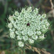 Carotina fiore