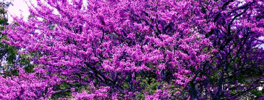 albero di giuda