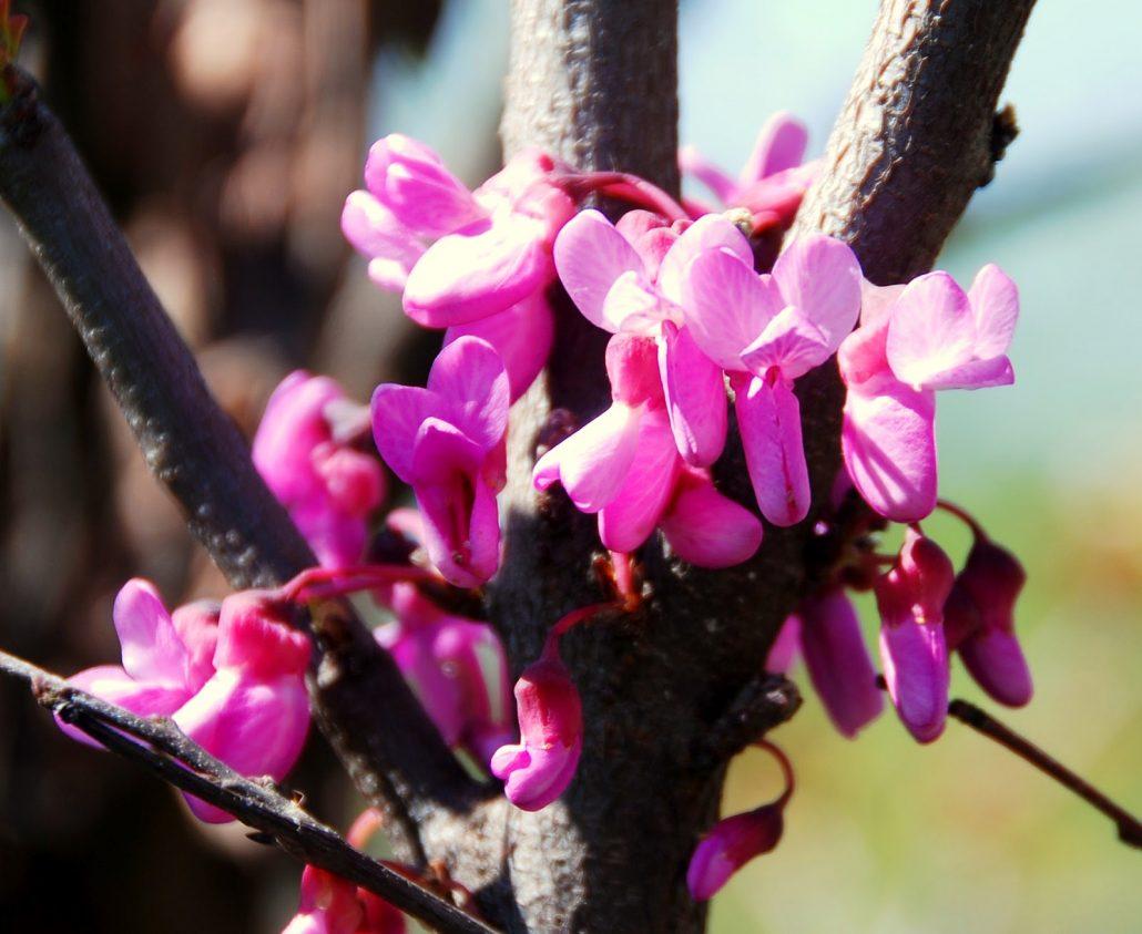 fiore albero di giuda
