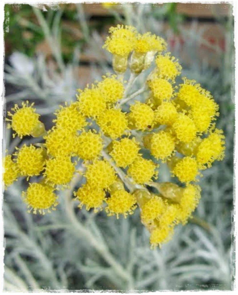 elicriso fiori